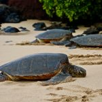 Sea Turtles Find Their Birthplace with Magnetic Fields